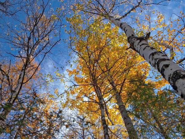 Birch trees, Eagle River, Alaska