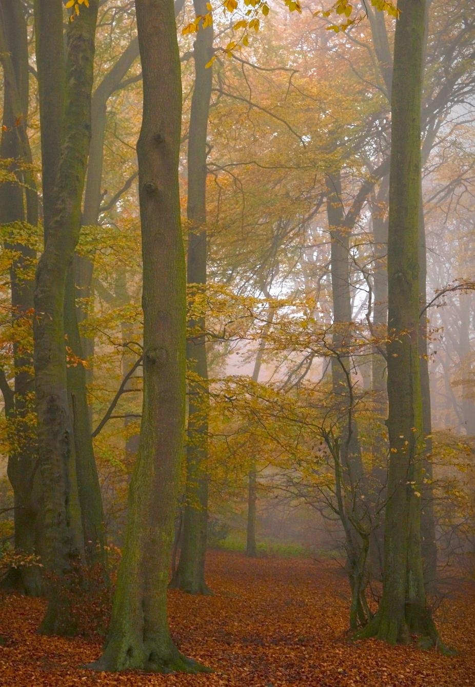Autumn in Wendover Wood. UK