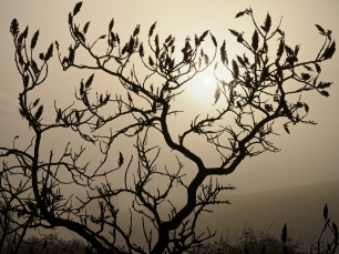 Silhouetted Sumac